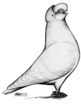 Reinaugen Shortface Pigeon