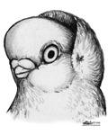Reinaugen Pigeon