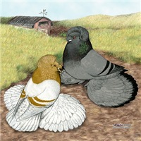 English Trumpeter Pigeons