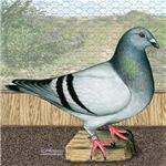 Loft Homer Pigeon