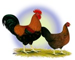 Welsummer Rooster and Hen