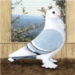 Satinette Pigeon In Loft