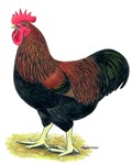 Partridge Rock Rooster