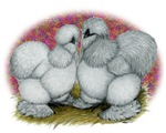 Silkie Chickens Blue Self2
