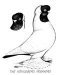 Moorhead Tumbler Pigeon