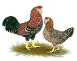 Russian Orloff Chickens