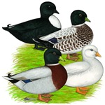Call Duck Quartet