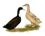 Golden 300 Hybrid Duck