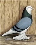 WOE Blue Baldhead Pigeon