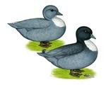 Blue Call Ducks
