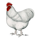 Orpington White Rooster