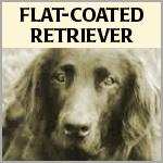 Flat-Coated Retriever