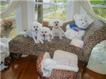 BICHONS AND A BEAR
