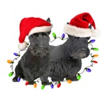 Scottish Terrier in Christmas Lights