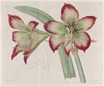 Hippeastrum Psittacinum Amaryllis