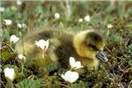 Precious Baby Duck