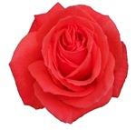 Pretty Rose
