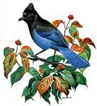 A Blue Stellers Jay in Dogwood Tree