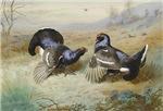 Vintage Painting of Blackcocks
