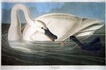 J J Audubon - Swan