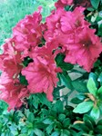 Red Rhododendron Floral Photo