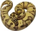 Enchi Fire ball python