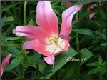 0434 Tulip 2