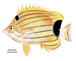 Bluestripe Butterfly Fish