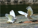 Duelling Little Corellas