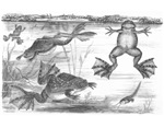 Clawed Toads