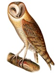 Barn Owl T-Shirts