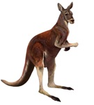 Red Kangaroo T-Shirts