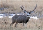 Muley Buck