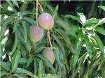 Mango Tree with Fruits