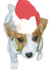 Jack Russell Santa Puppy