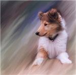 Collie Puppy Profile