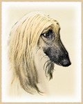 Afghan Hound - Multiple Illustrations