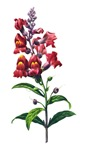 Antirrhinum or SnapDragon by Redoute
