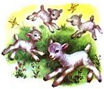 Funny Lambs White Sheep