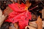 Pooled Water Leaf