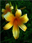 daylily daydreams v.3