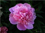 .pink peony.
