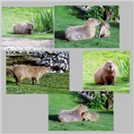 Capybara Photo Gifts