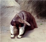 Giant Anteater Nose
