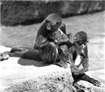 Spider Monkey with Young