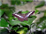 Half Tail Butterfly
