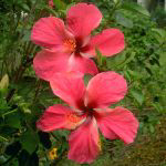 Twin Hibiscus