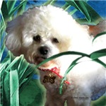 Bichon Friese Molly