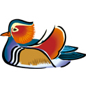 China Mandarin Duck