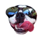 COOL BOSTON TERRIER (SUNGLASSES)